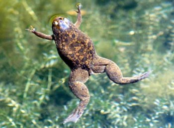 african_clawed_frog